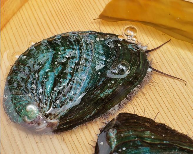 養殖漁業 あわびの美嶋丸